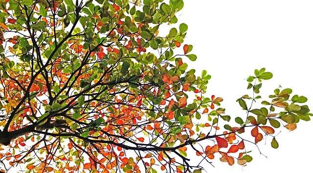 strom mandloň