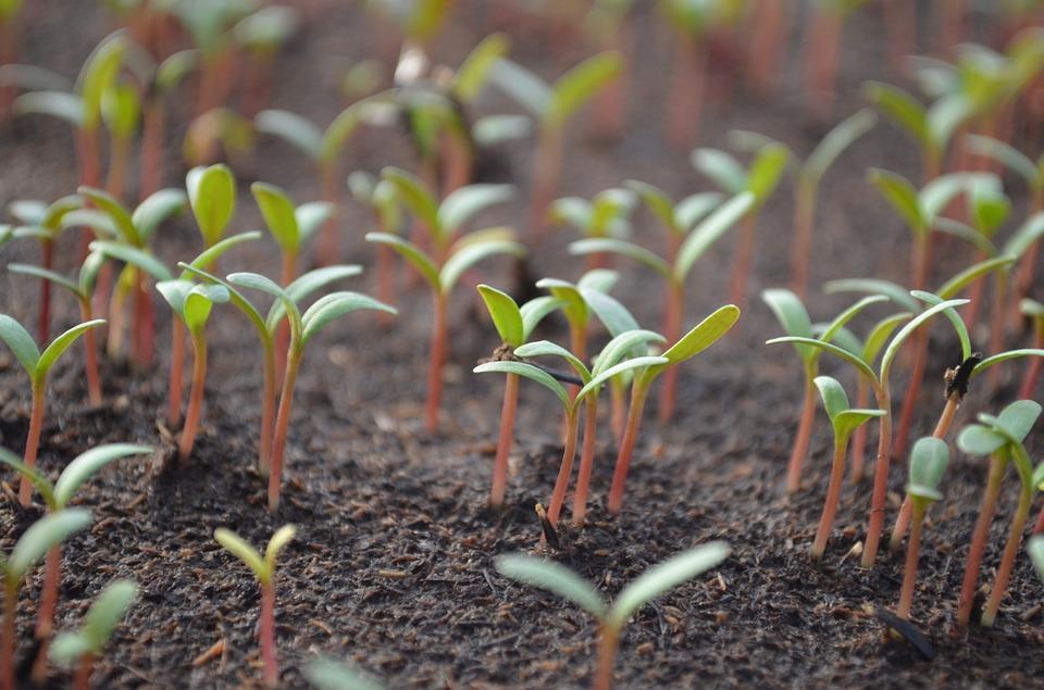 Domácí pěstování klíčků